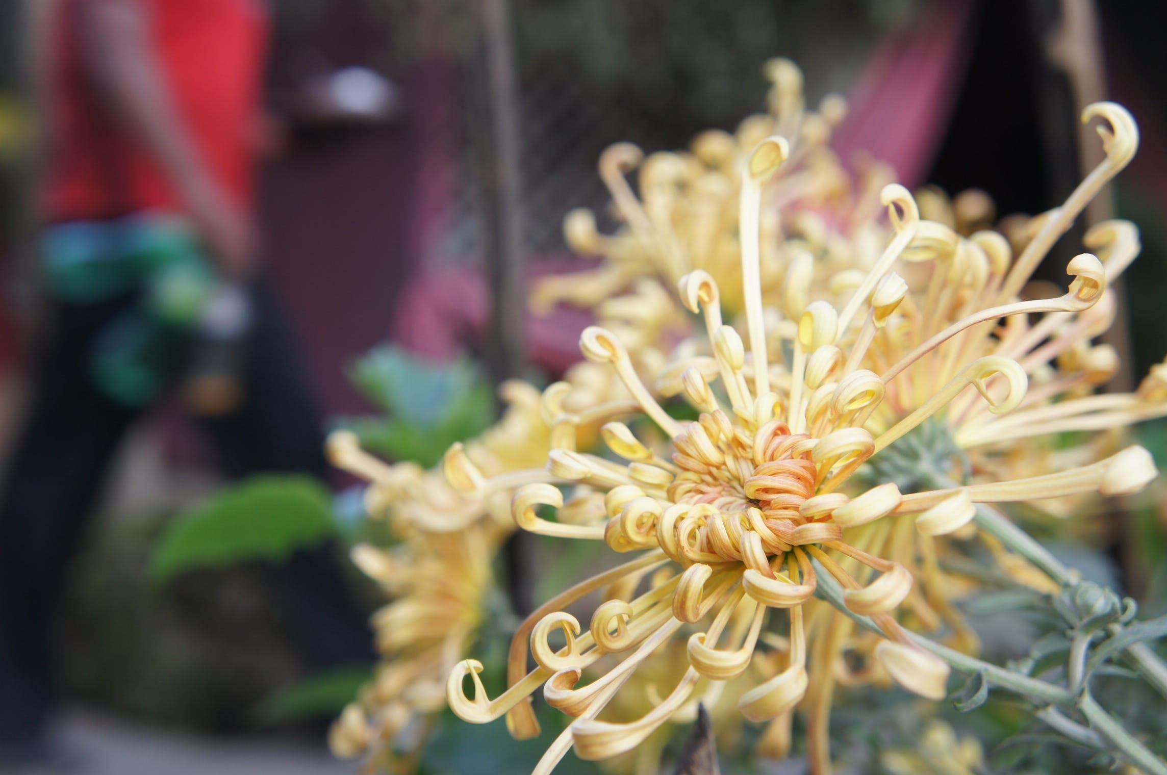 Free stock photo of beautiful flowers, yellow flower