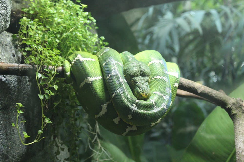 A snake resting on a branch.   Photo: Pexels