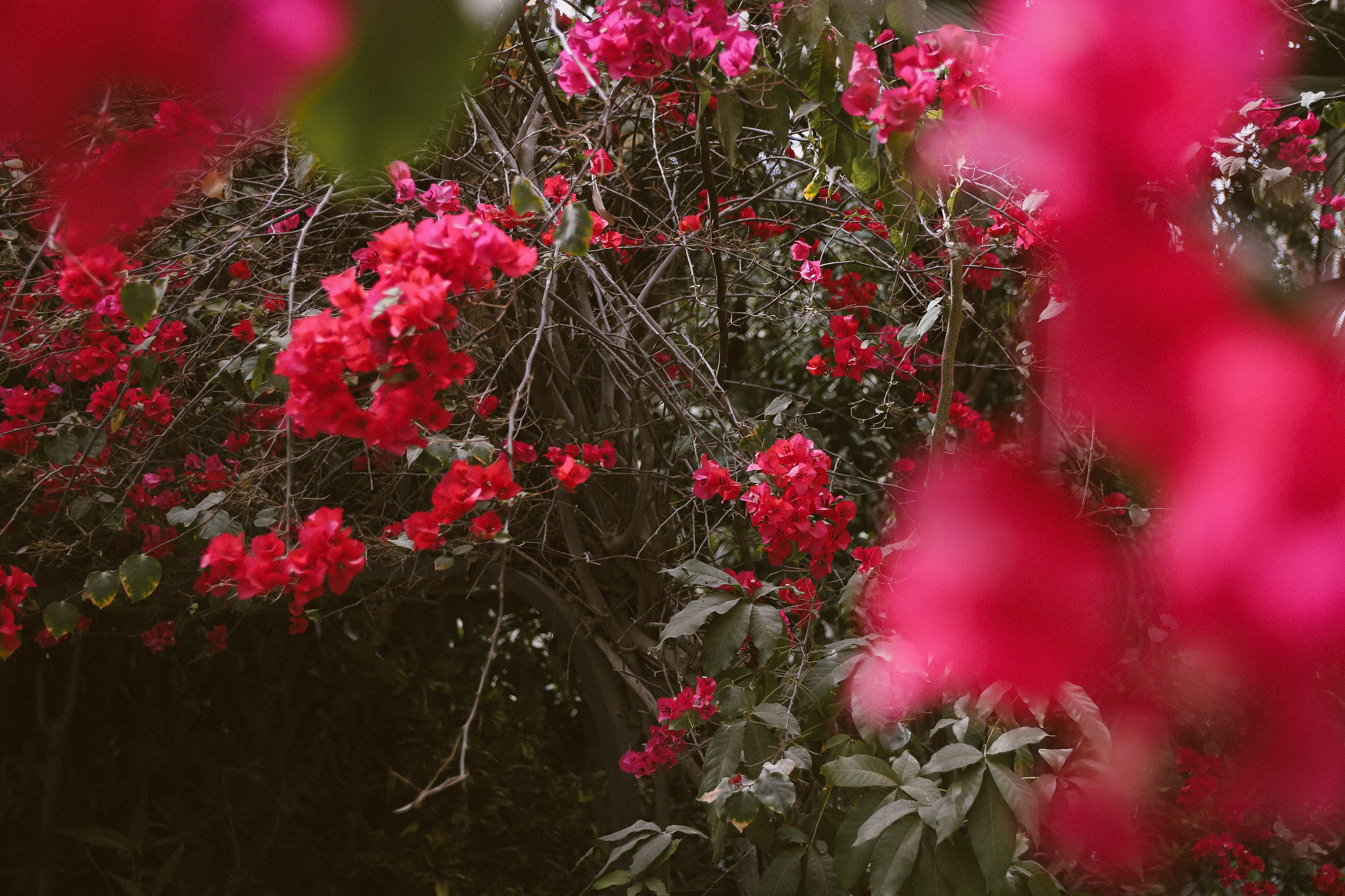 Selective Focus Photo of Red Bougainvillea Flowers