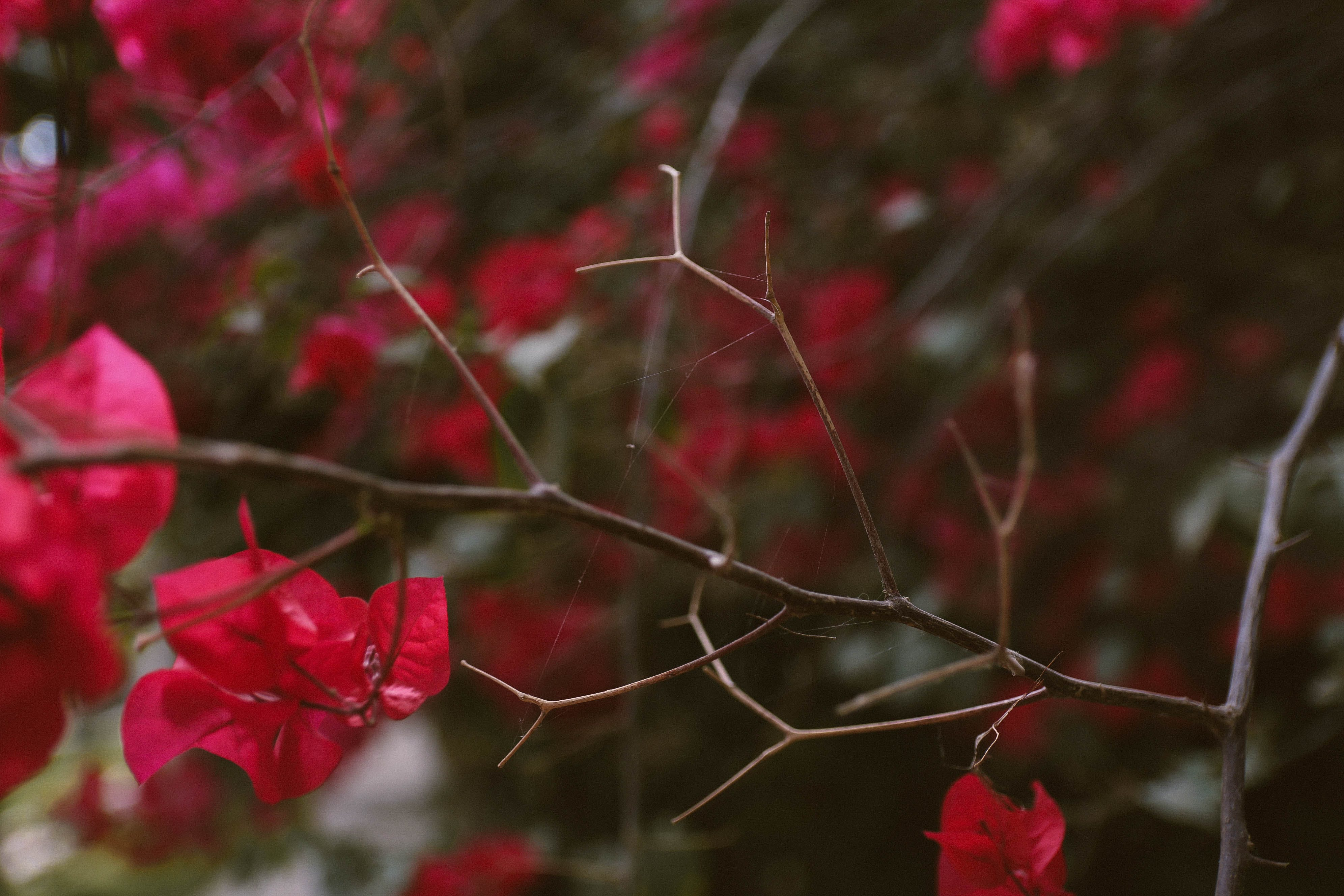 Selective Focus Photo of Red Bougainvillea