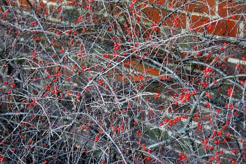 Foto profissional grátis de arbustos, bagas, caules, filiais