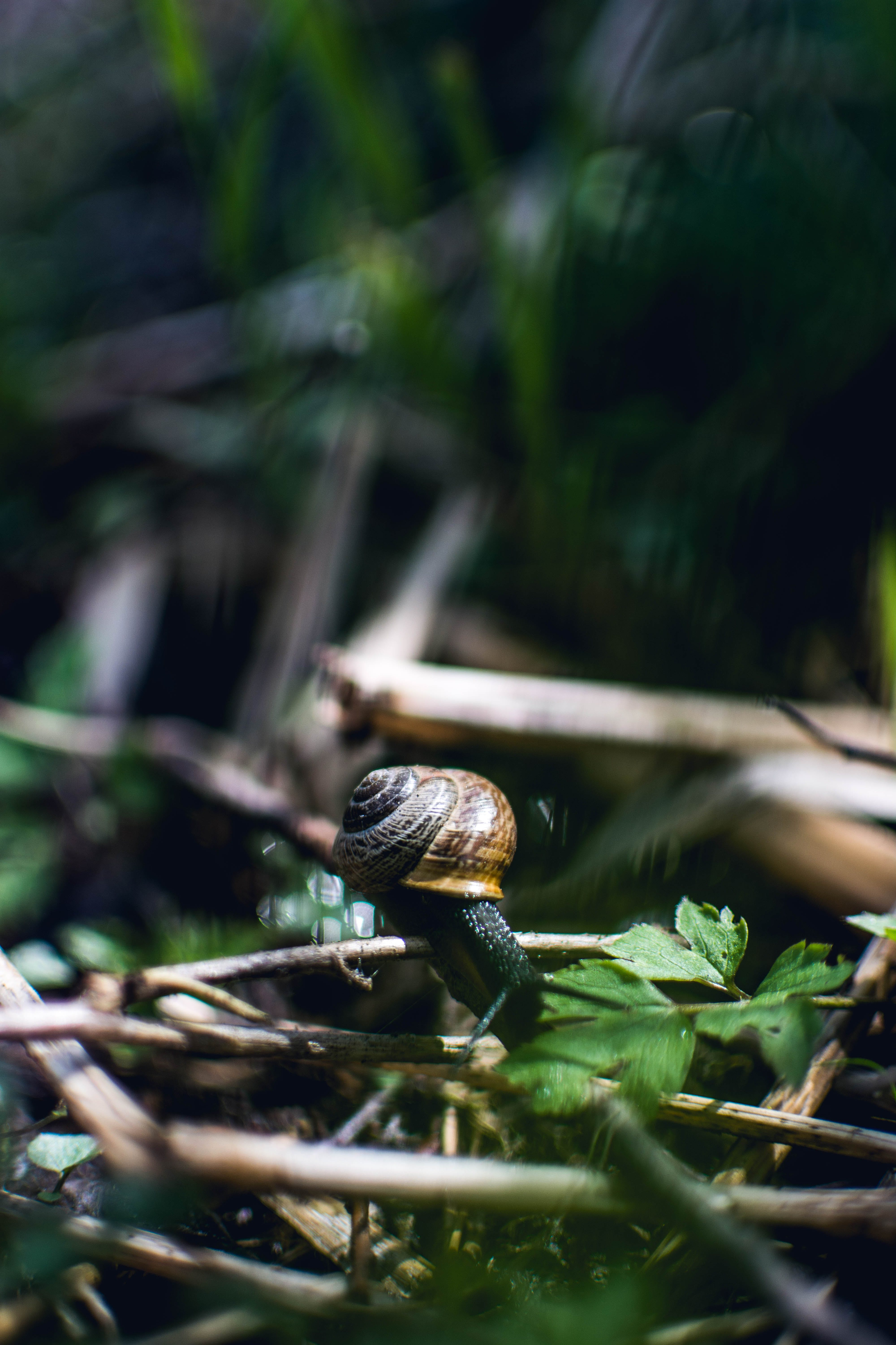 Brown Snail on Twig
