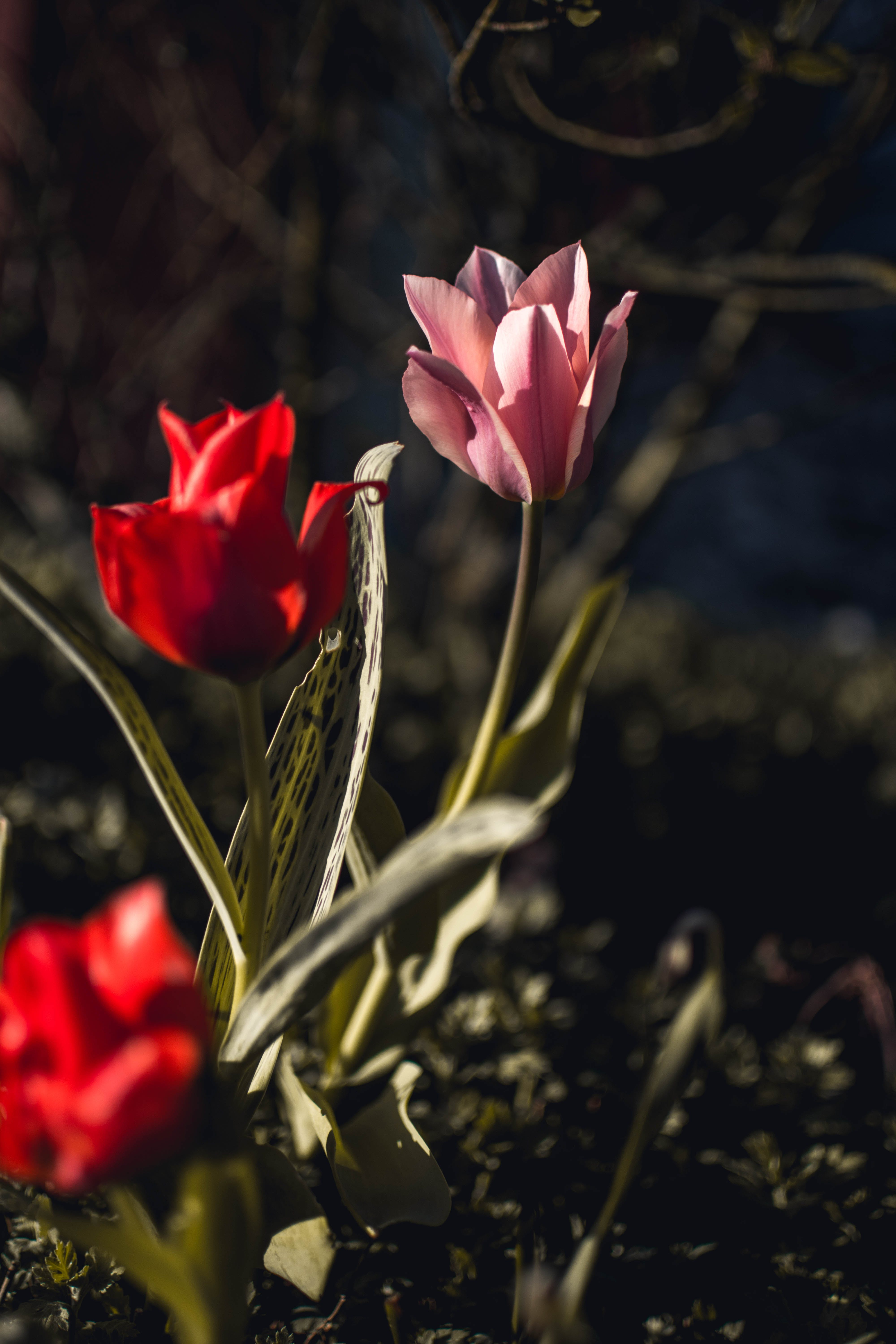 Pink and Red Tulips Closeup Photography