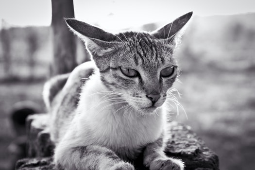 Grayscale Photo of White and Black Tabby Cat