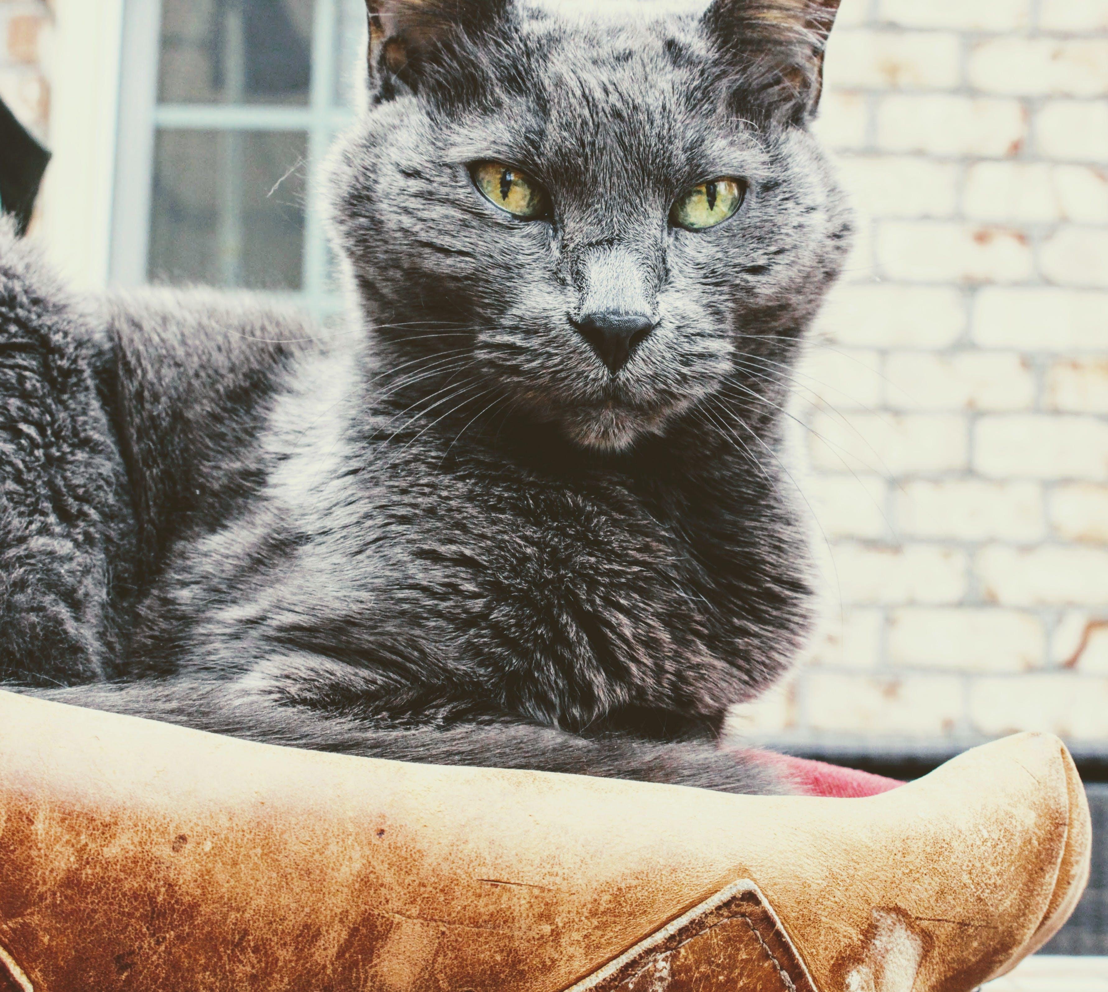 Short-fur Gray Cat
