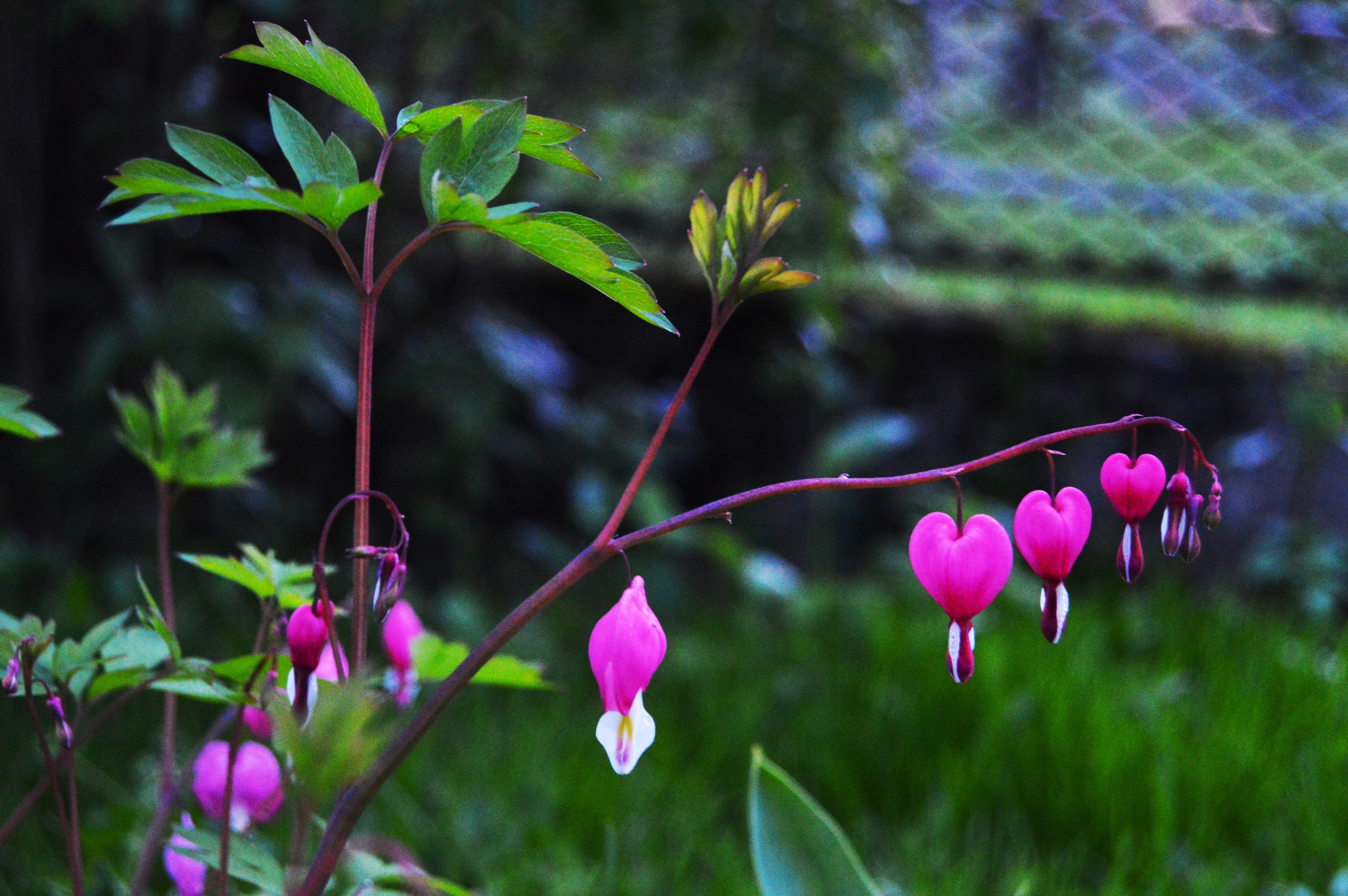Pink And White Bleeding Heart Flowers Selective Focus Photography At