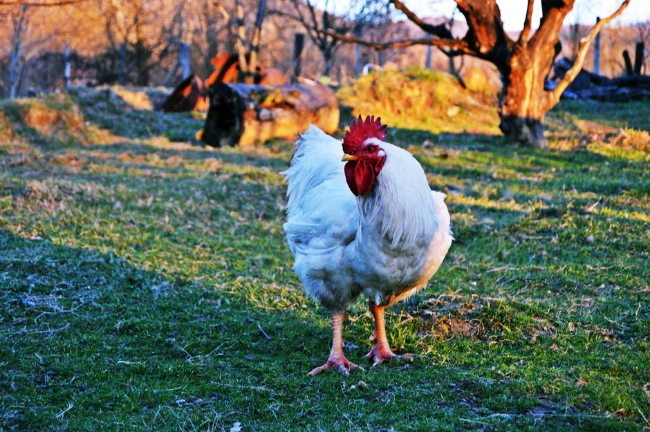 White Rooster on Green Grass Field
