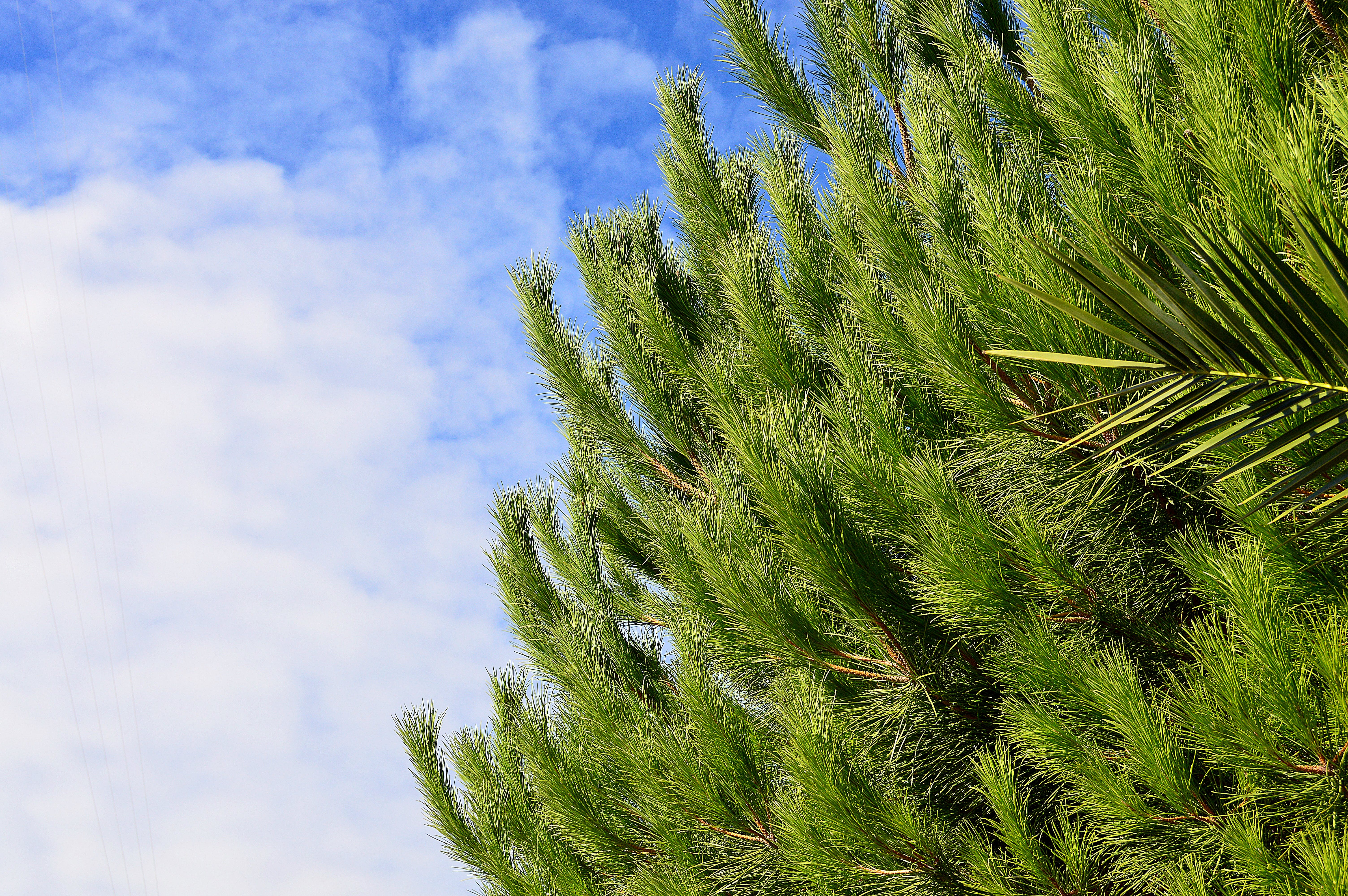 Green Pine Tree With Cloudy Sky Background