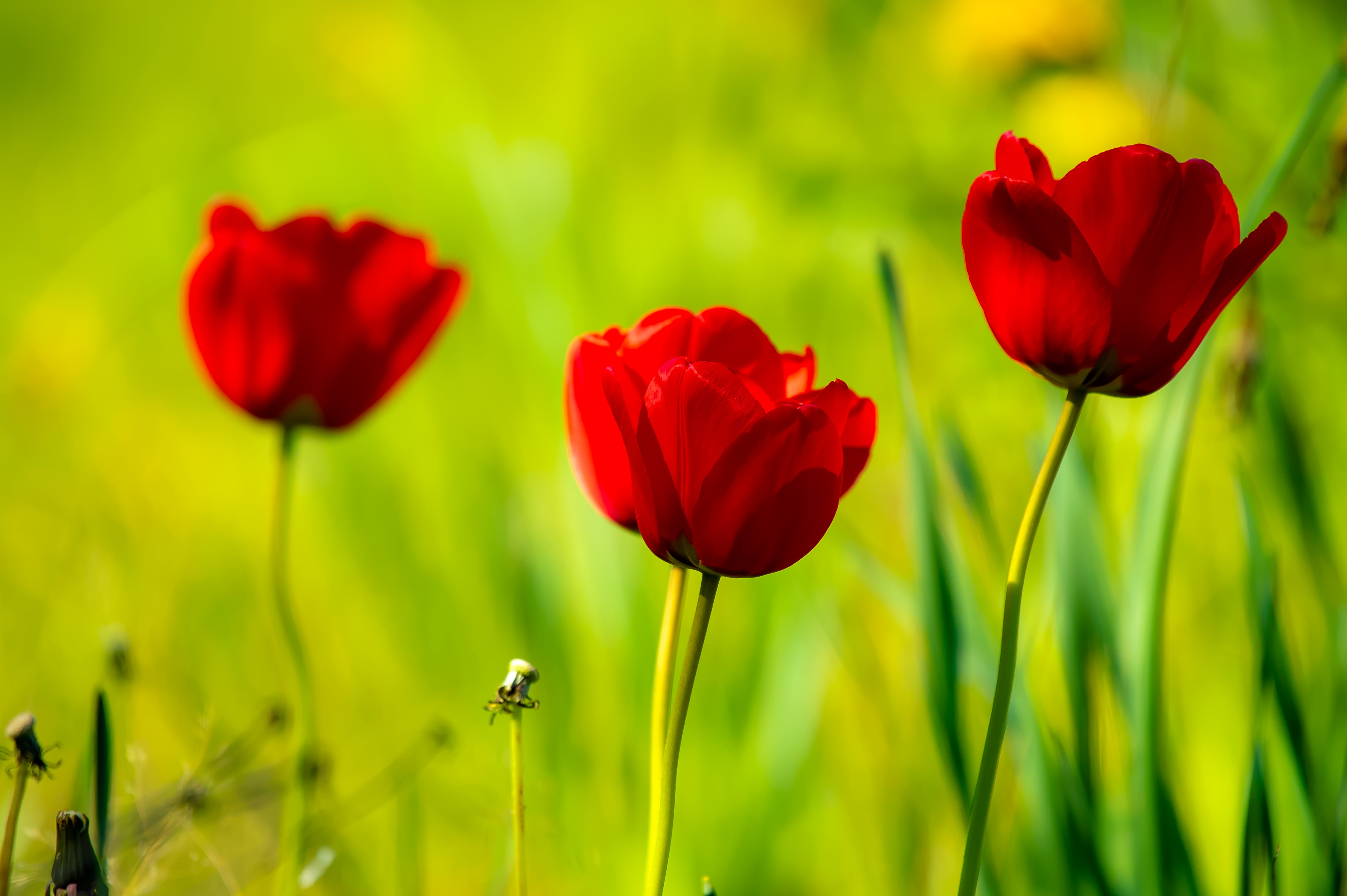 Closeup Photography of Red Tulips