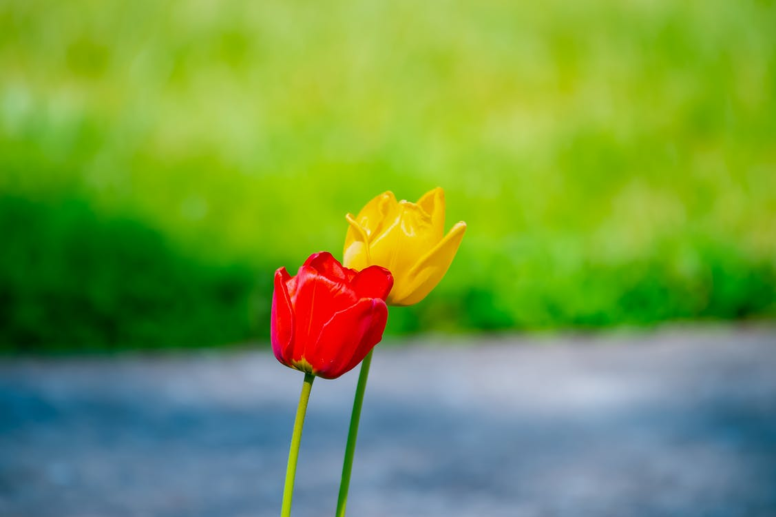 barva, cody simpsonová květina, flóra