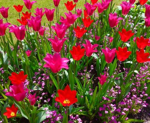 Gratis lagerfoto af blomster tulipaner