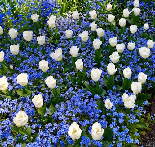 Gratis lagerfoto af tulip blomster