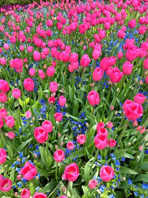 Gratis lagerfoto af tulipaner blomster