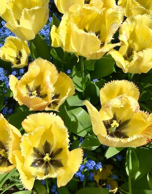 Gratis lagerfoto af blomster, Tulipaner