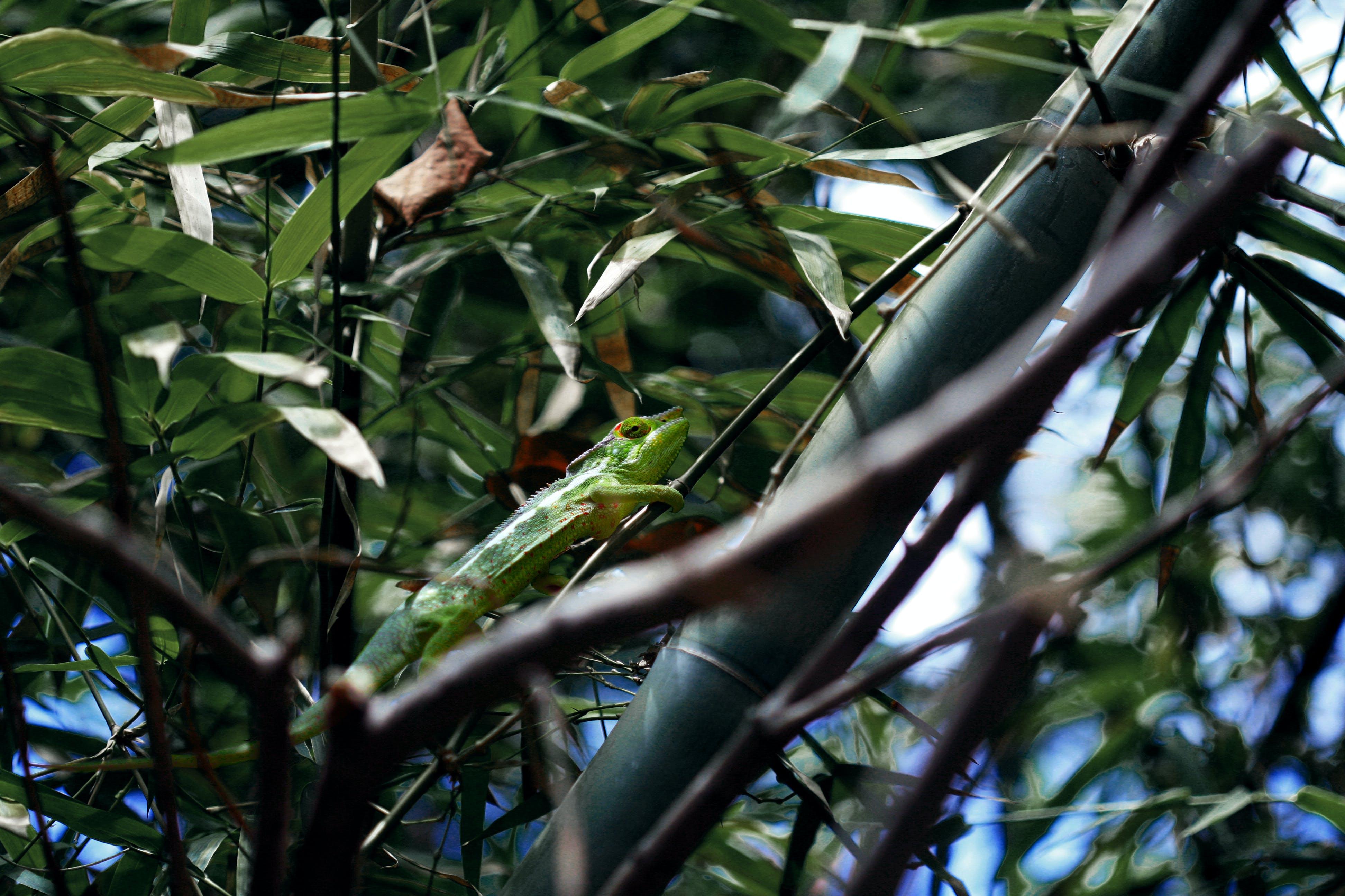 Kostenloses Stock Foto zu bambus-baum, chamäleon, eidechse, grün