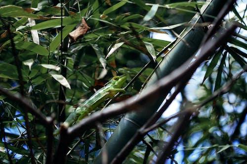 녹색, 대나무, 도마뱀, 동물의 무료 스톡 사진
