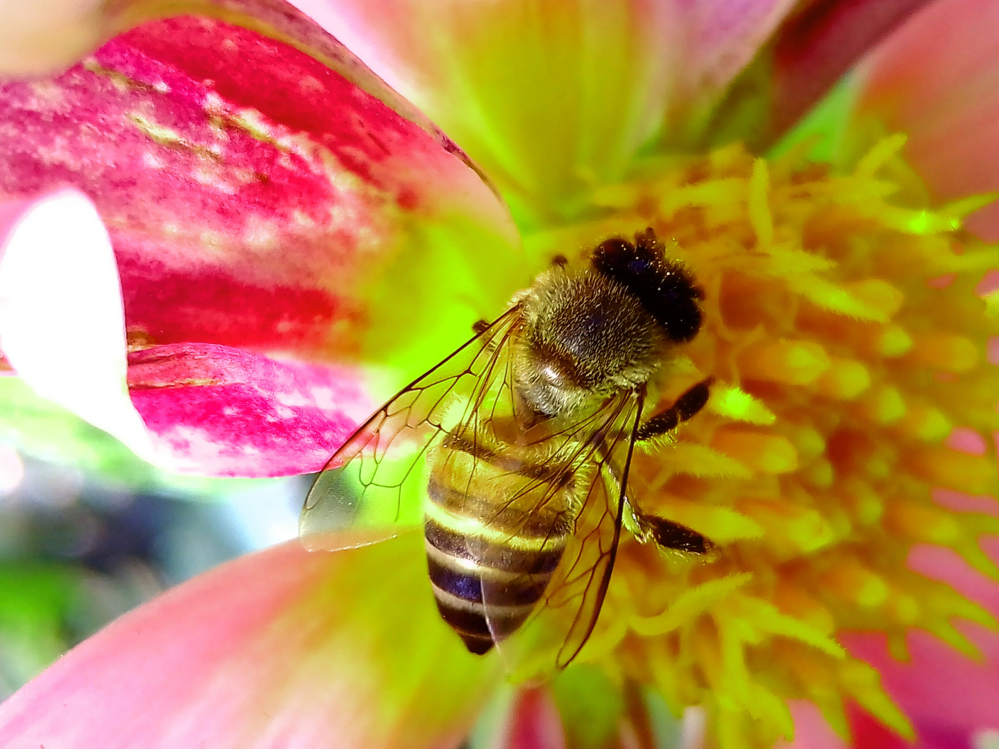 Honey Bee Perched on Pink and Yellow Petaled Flower Closeup Photography
