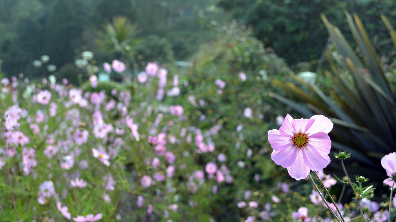 Free stock photo of beautiful flowers, garden, pink flowers
