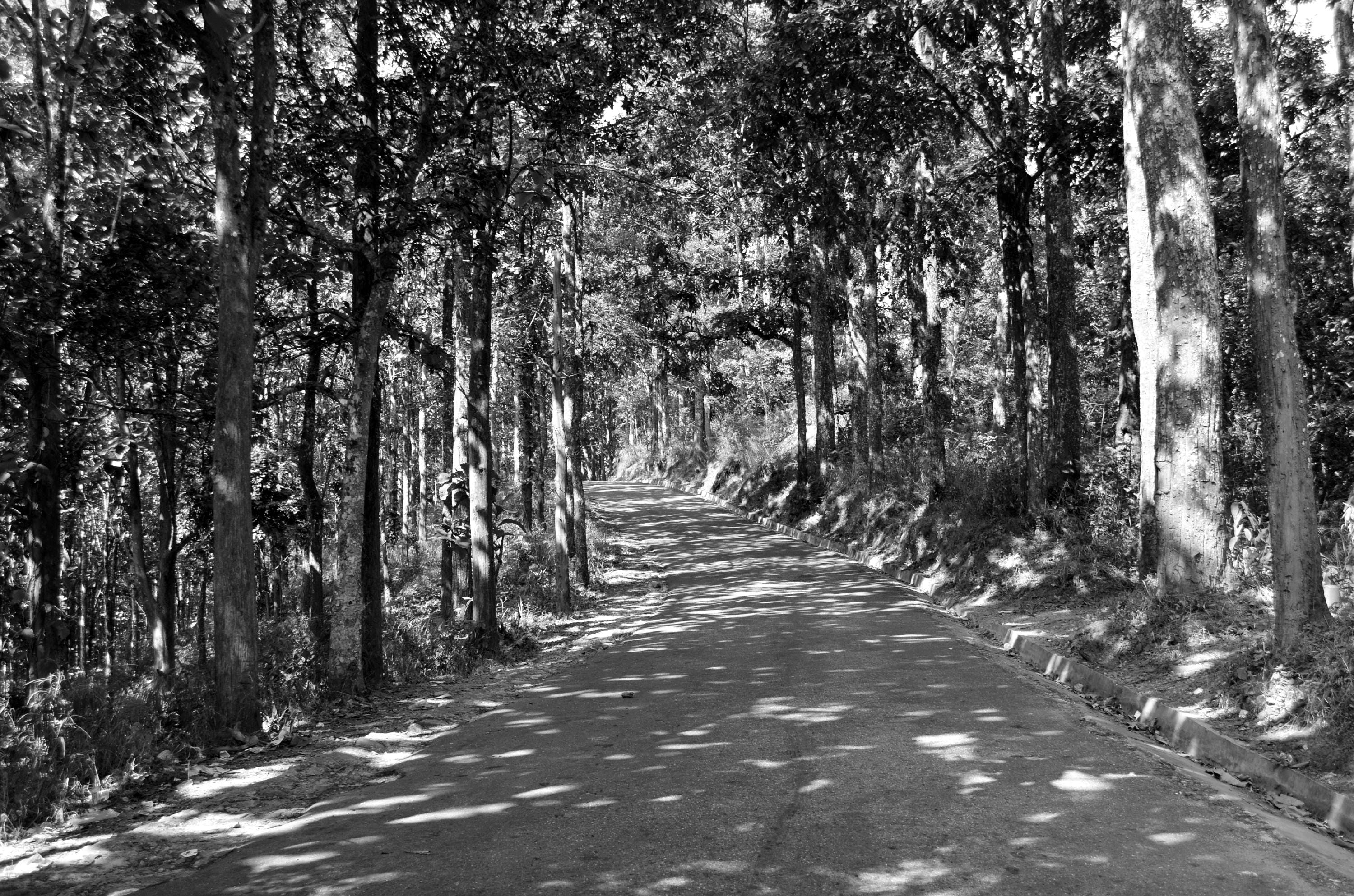 Free stock photo of black and white, pine trees, road