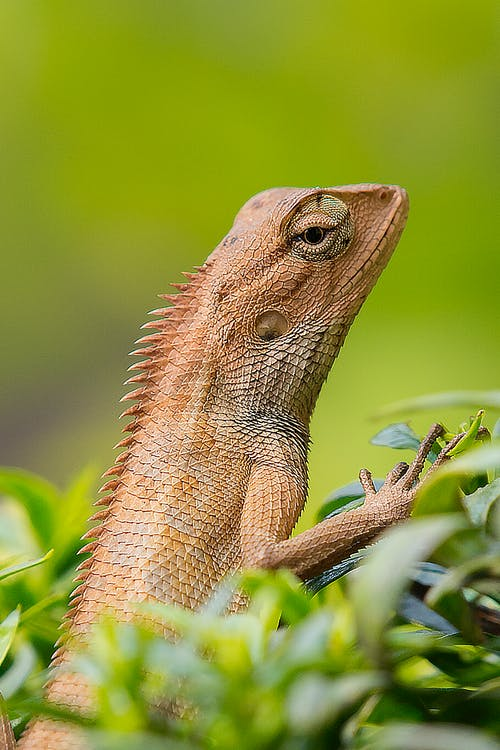 Brown Lizard on Green Leafed Plant
