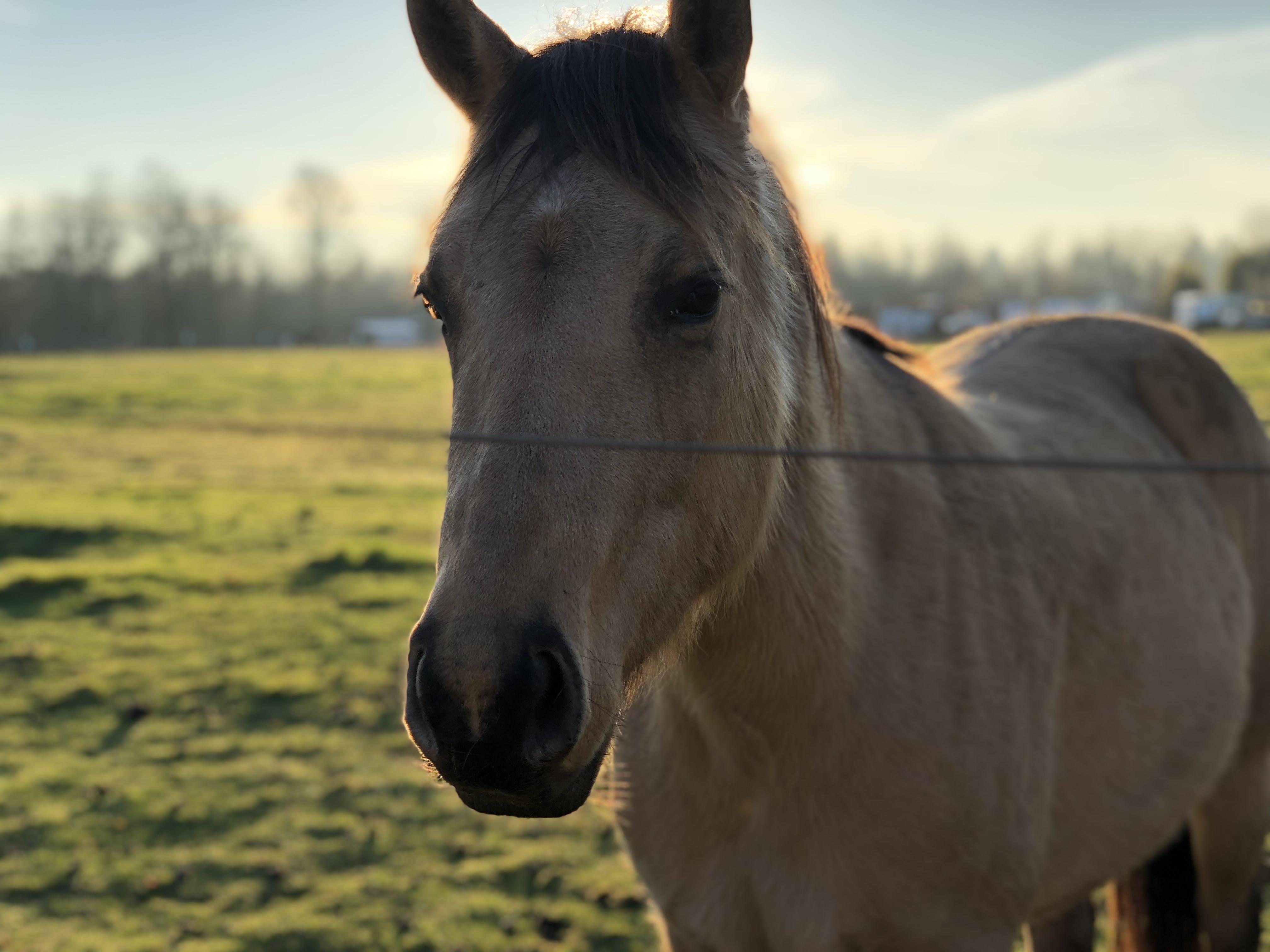 Adult Tan Horse