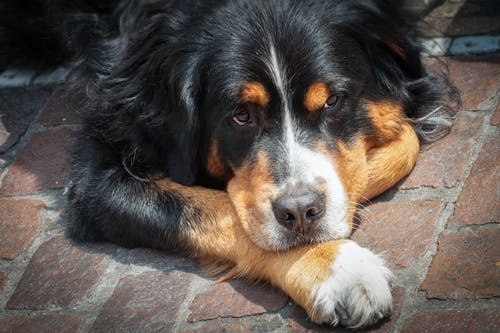 Adult Bernese Mountain Dog Lying on the Field