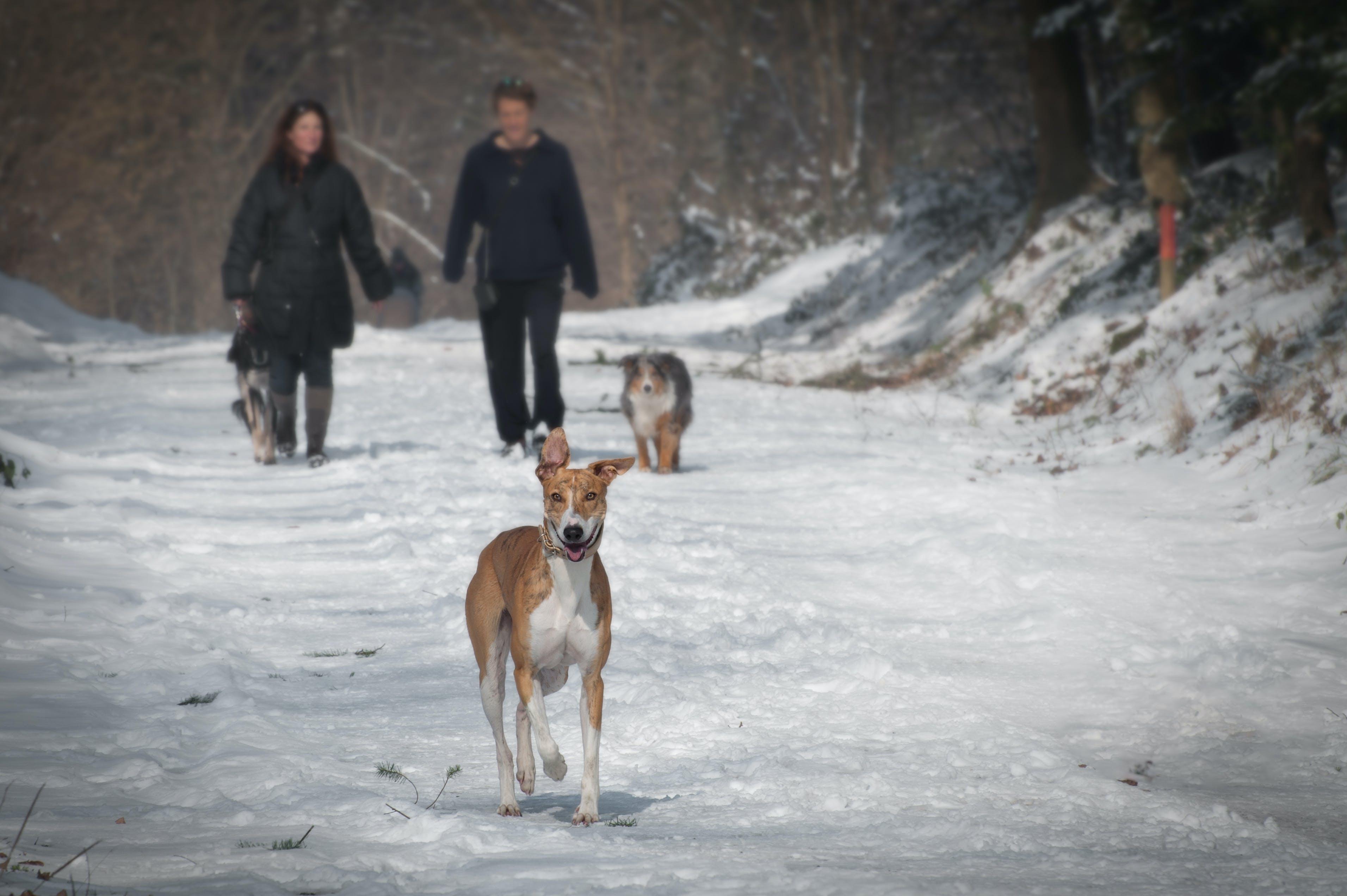 Gratis lagerfoto af forkølelse, hunde, par, sne