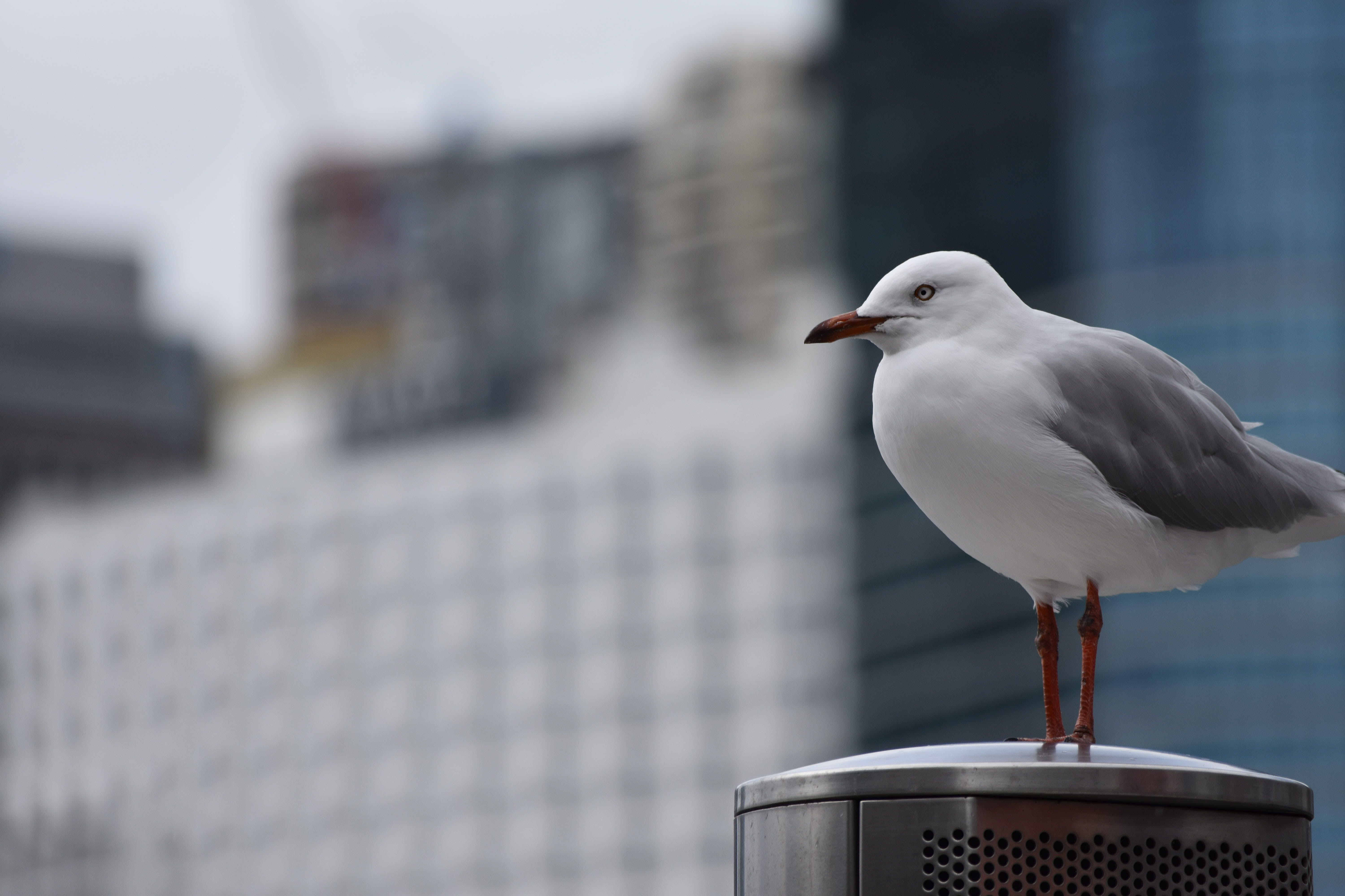 Free stock photo of city, seagull