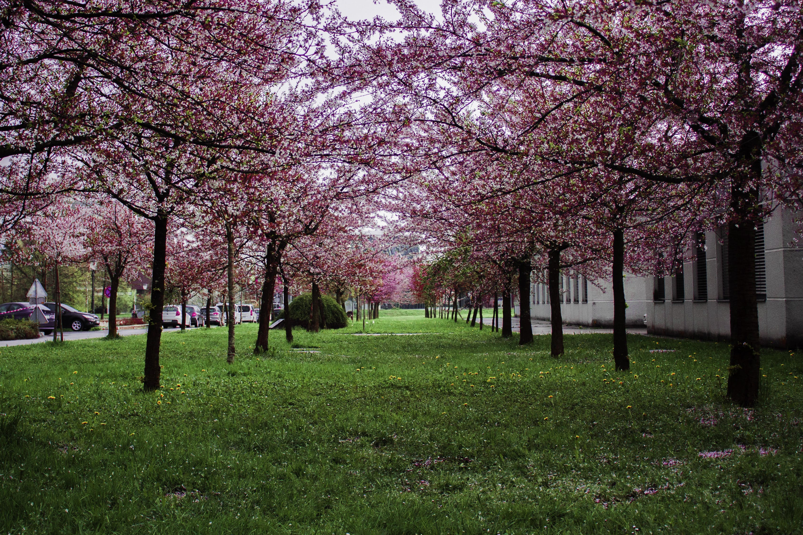 Pink Leafed Trees on Green Grass Field