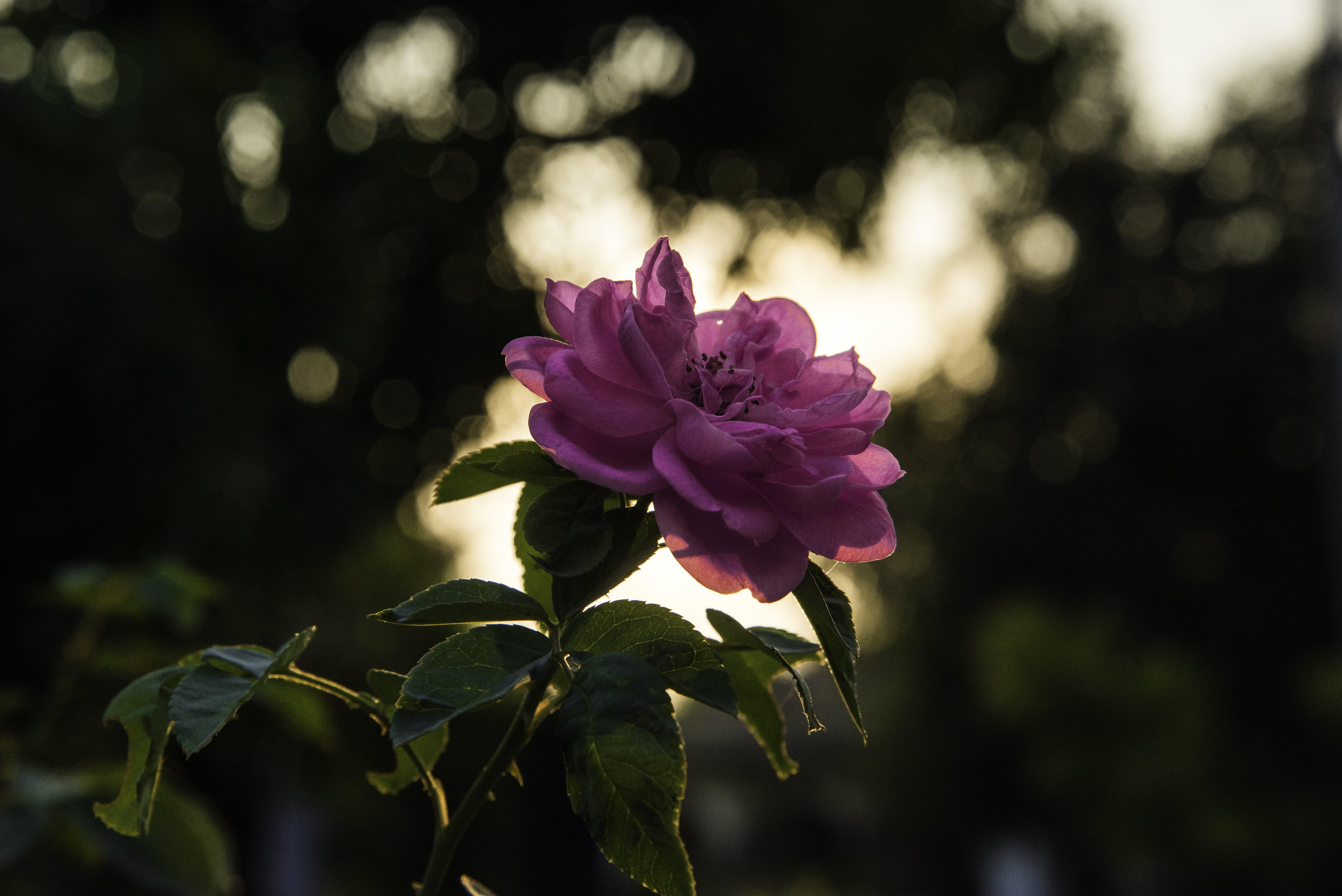 Pink Rose at Daytime