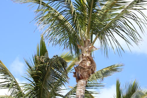 Free stock photo of palm leaves, palm tree, palm trees