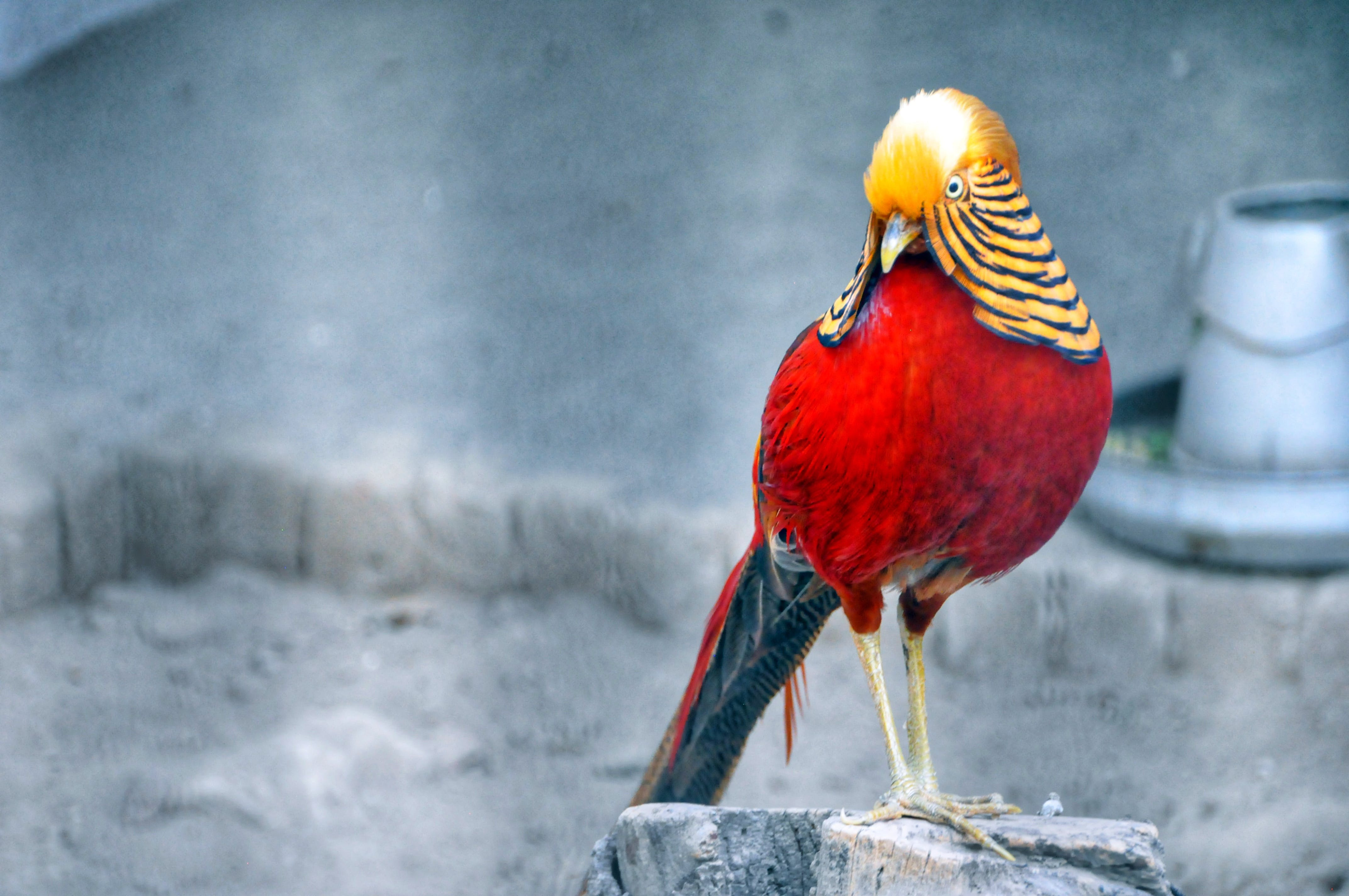 Red and Brown Bird Standing on Grey Wood Stump