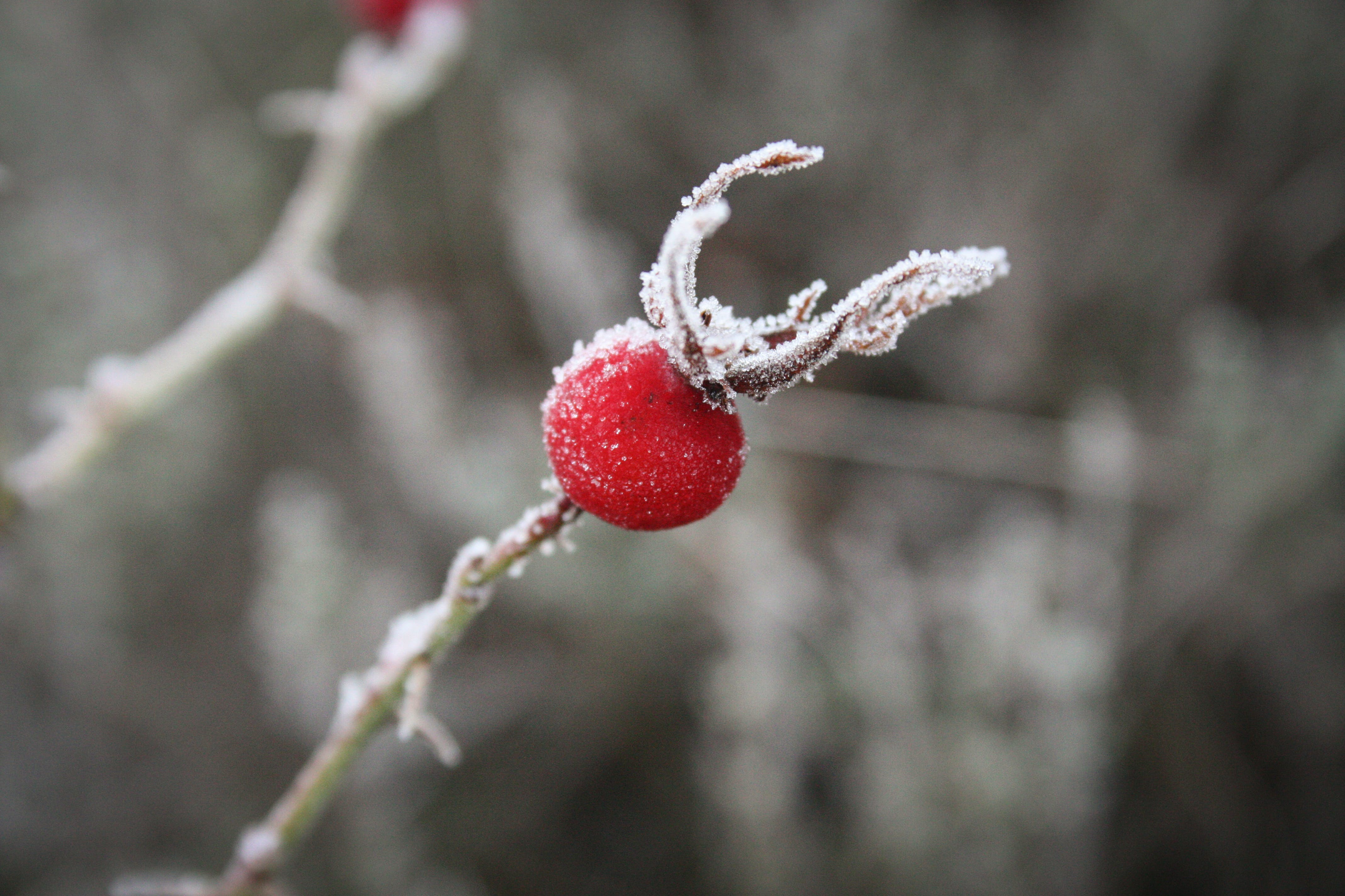 Free stock photo of cold, frost, nature, rosehip