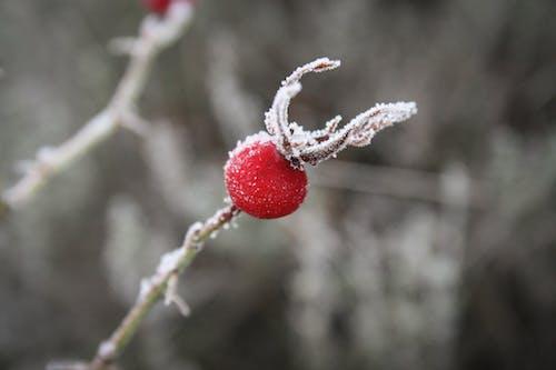 Ảnh lưu trữ miễn phí về hình nền, hoa hồng, lạnh, Mùa