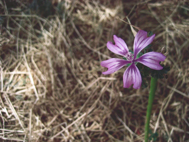 Kostenloses Stock Foto zu blume, einsam, heu, lila