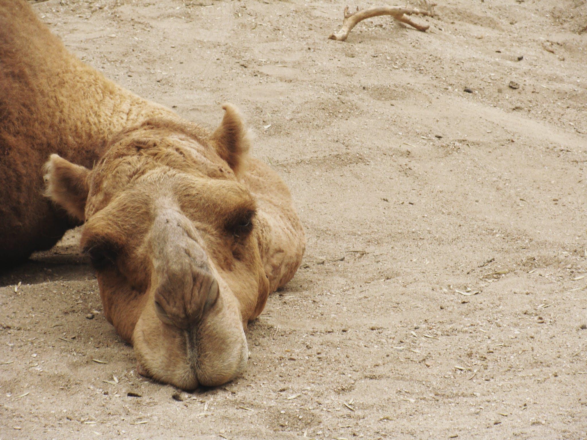 Kostenloses Stock Foto zu betrübt, einsam, kamel, sand