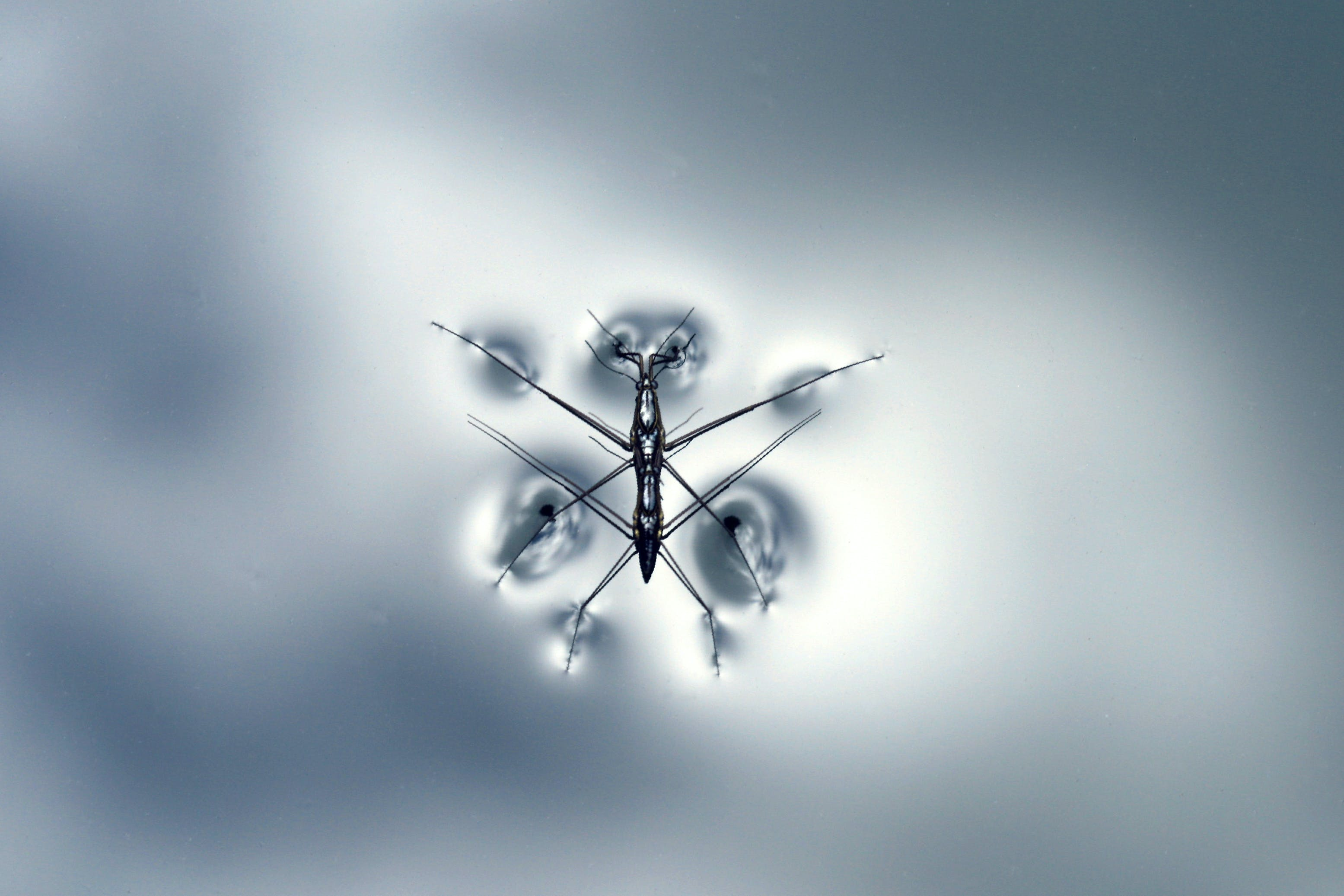 Close-up Photography of Black Water Strider on Water