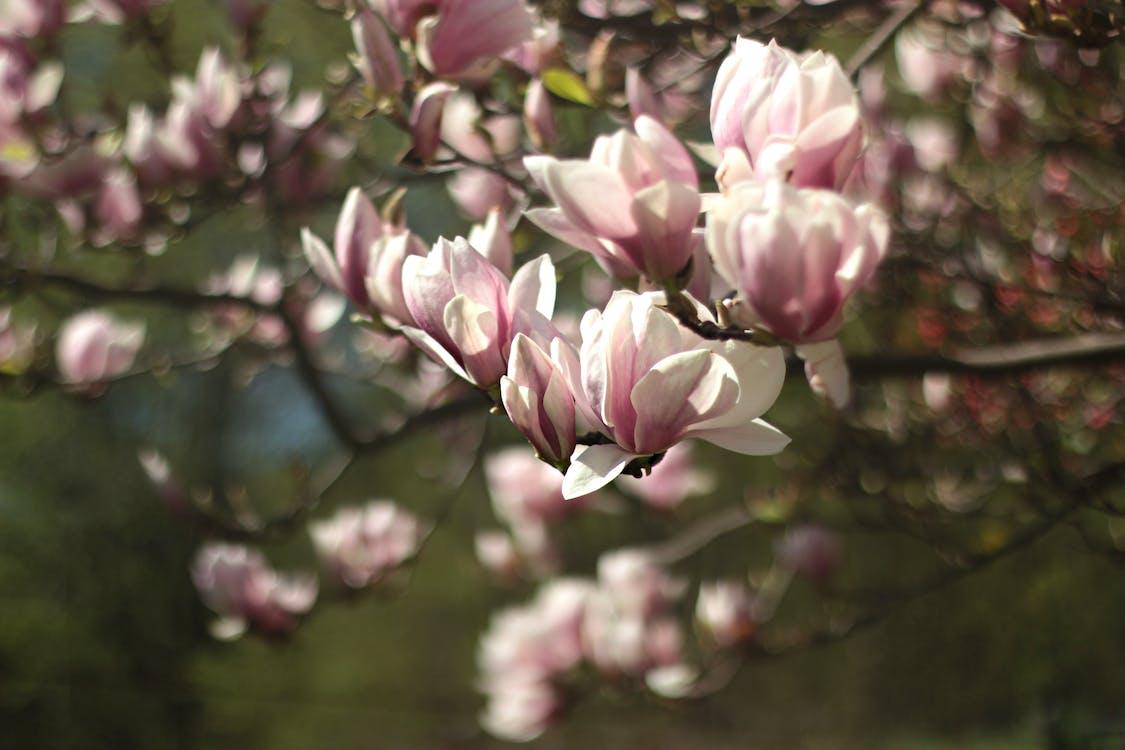 blomster, blomstrende, close-up
