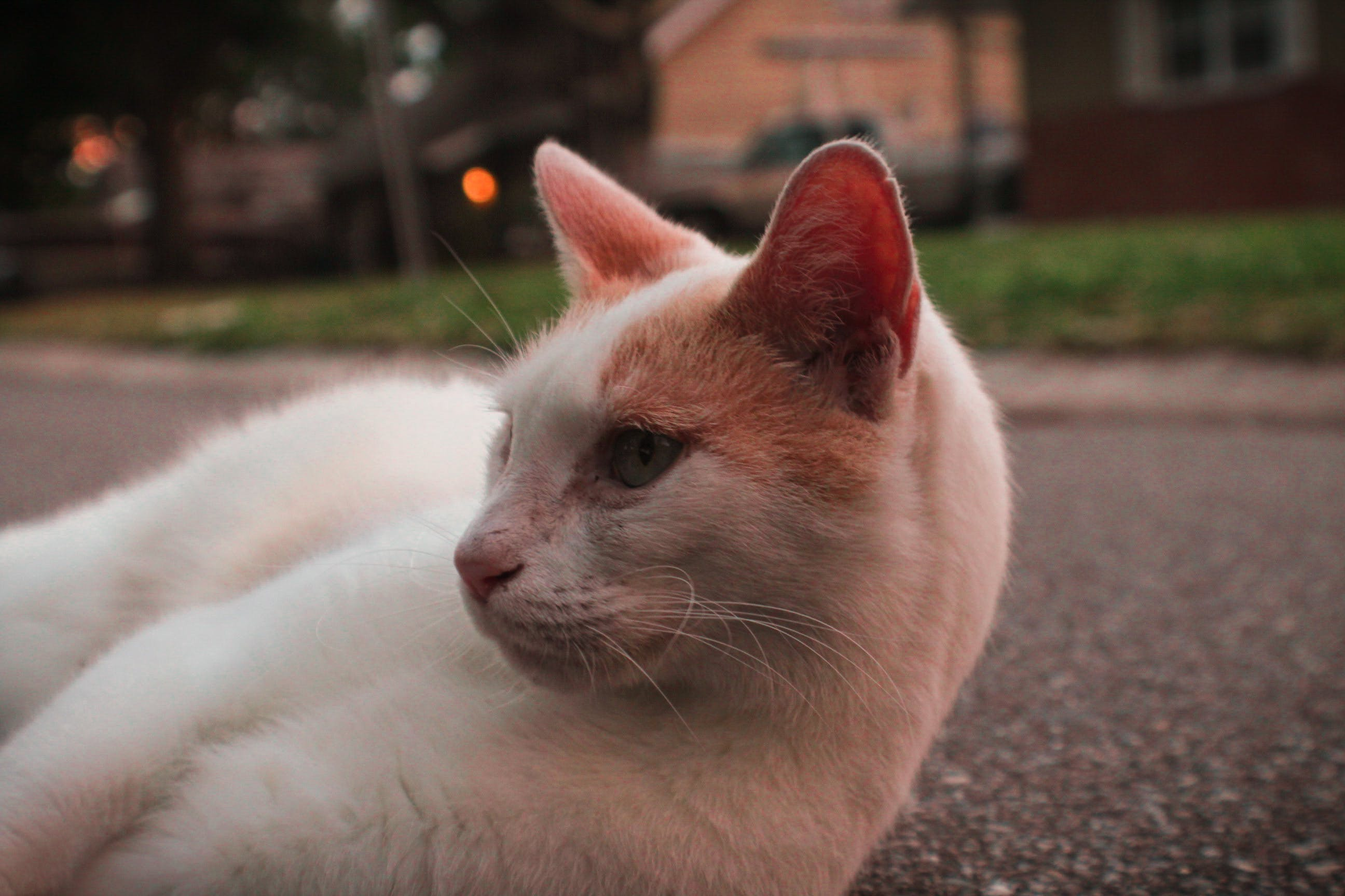 White and Orange Cat Lying on Pavement