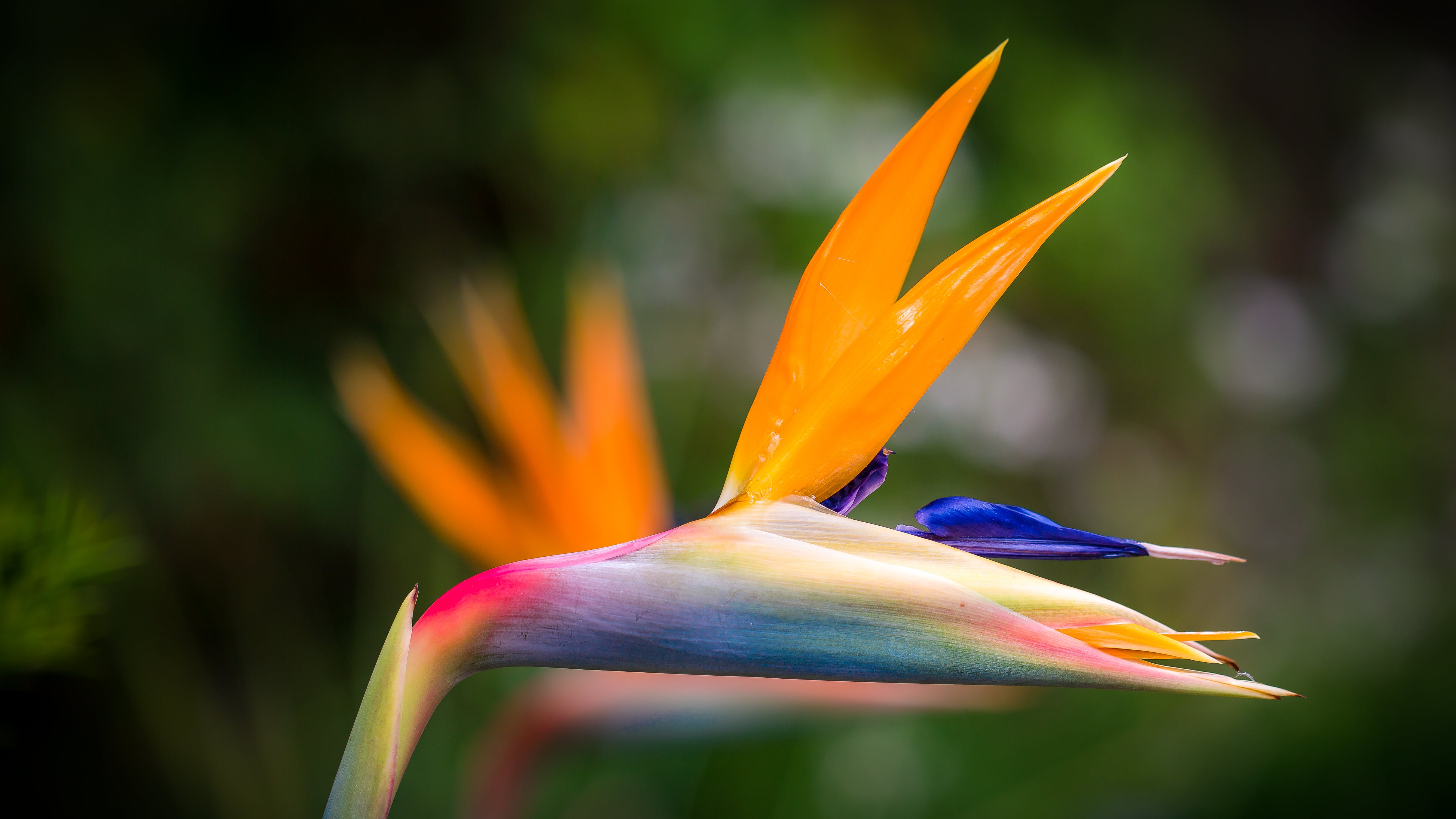 Closeup Photography of Bird of Paradise Flower