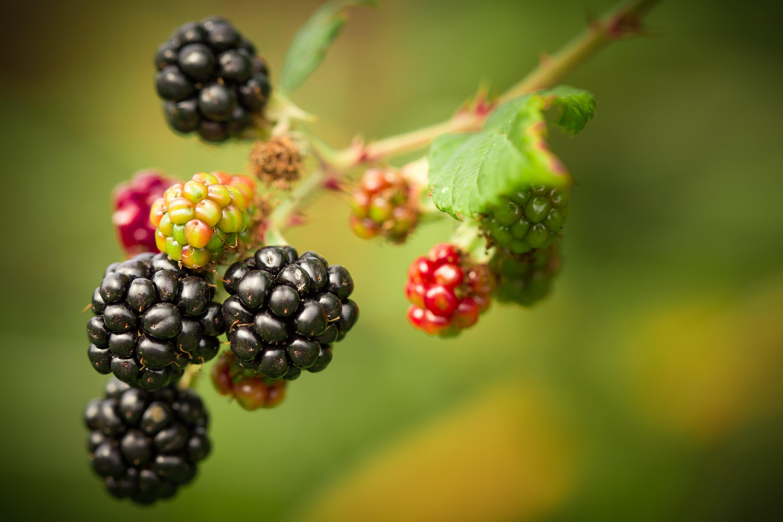 barva, blackberry, bobule