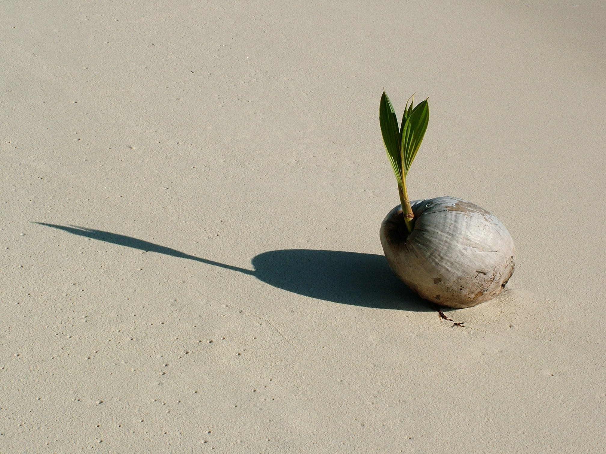 Free stock photo of coconut