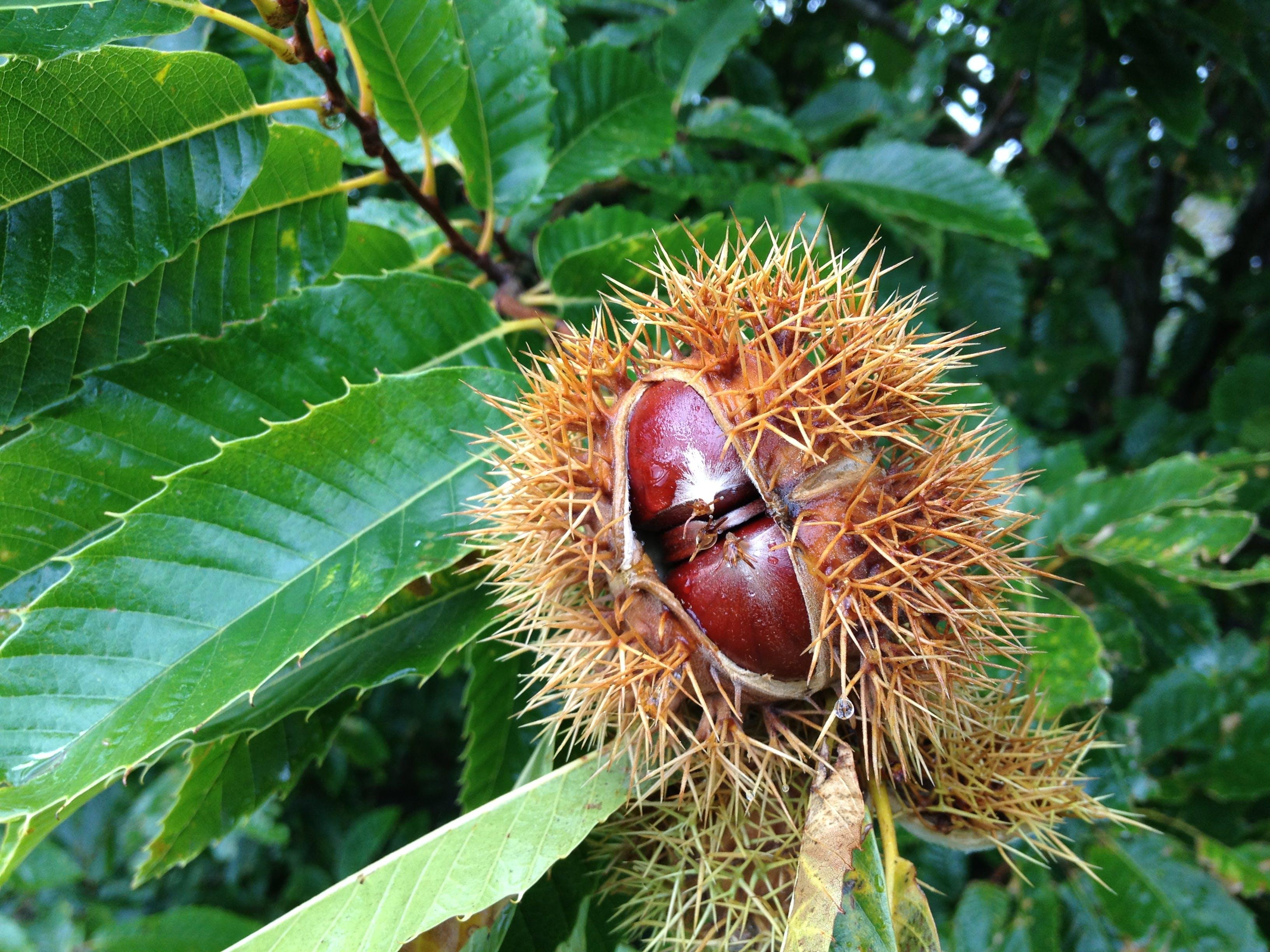 Free stock photo of chestnut