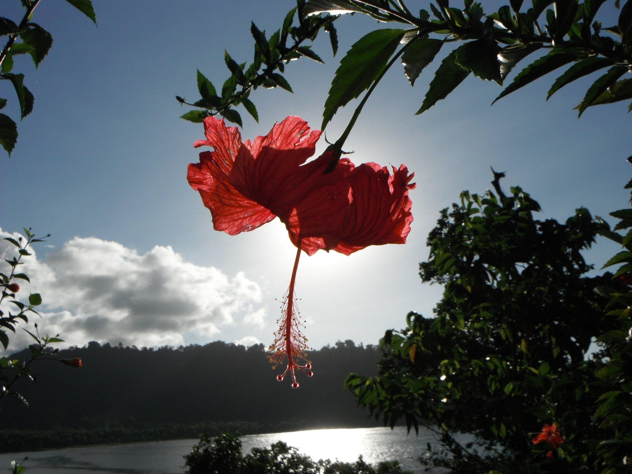 Free stock photo of Gizo Island, Hibiscus, Solomon Islands