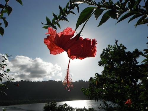 기조 섬, 솔로몬 제도, 히비스커스의 무료 스톡 사진