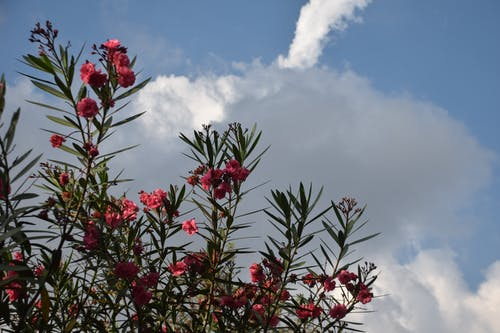Free stock photo of daylight, park, red flowers, white clouds