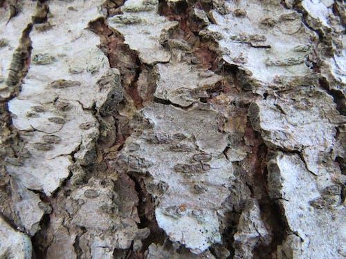 나무 껍질, 백향목의 무료 스톡 사진