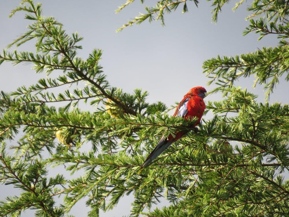 Red Bird on Tree