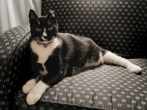 Immagine gratuita di bianco e nero, felino, gattino, gatto