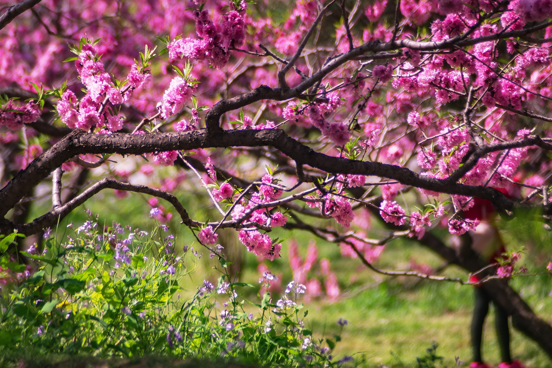 Closeup Photo of Pink Petaled Flower Tree